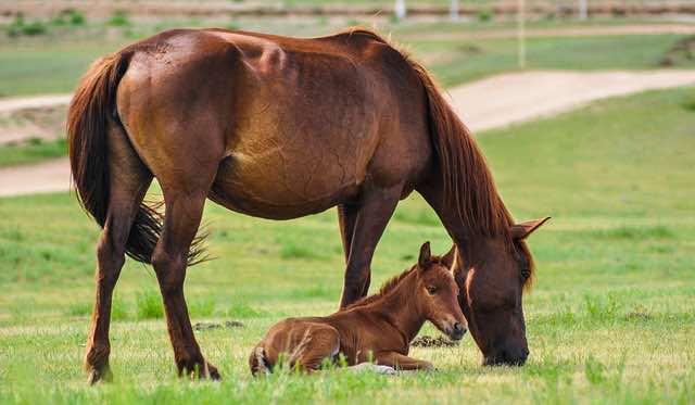 le cheval et son poulain