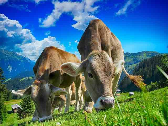 élevage de vache, du pré à votre assiette