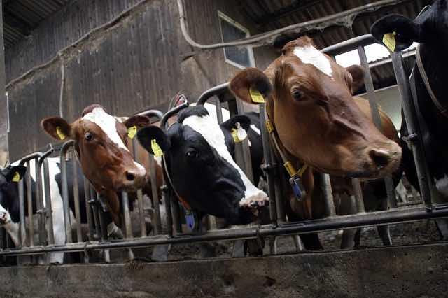 élevage industriel d'animaux et ses dérives