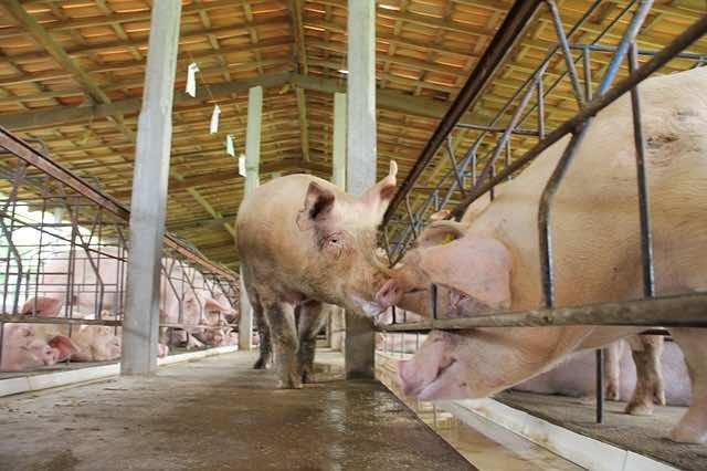 insémination artificielle à la ferme