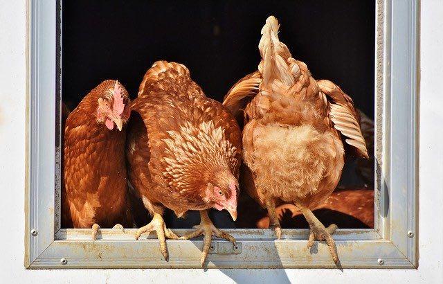 élevage de poulet