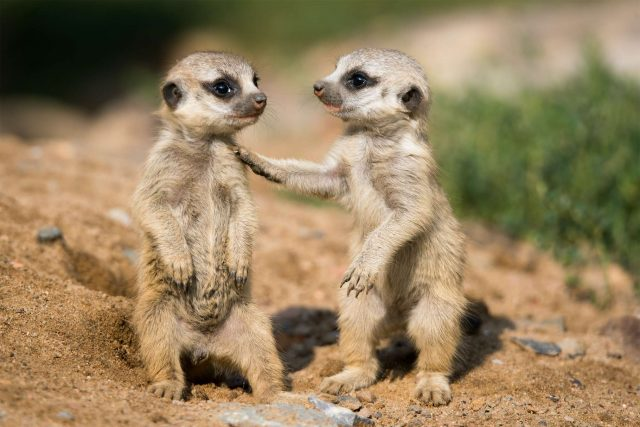 Le suricate est un mammifère de la famille des Herpestidae.